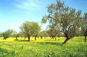 Die Mandelblüte auf dem der OÁSIS - VERDE angrenzenden Feld Richtung Norden und Osten